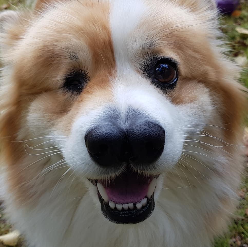 Chú chó Corgi sinh ra với 1 mắt và 2 mũi sống sót kỳ diệu